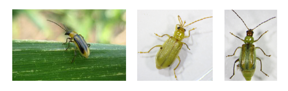 Figure 1. Western corn rootworm adult (left), northern corn rootworm adult (middle), and Mexican corn rootworm (right).