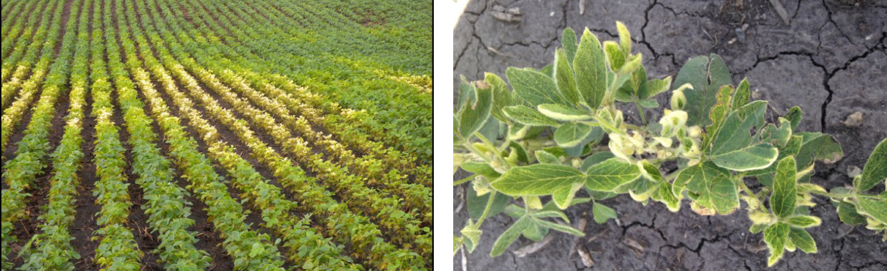 Figure 6. HPPD (Group 27) corn herbicide carryover to soybean.